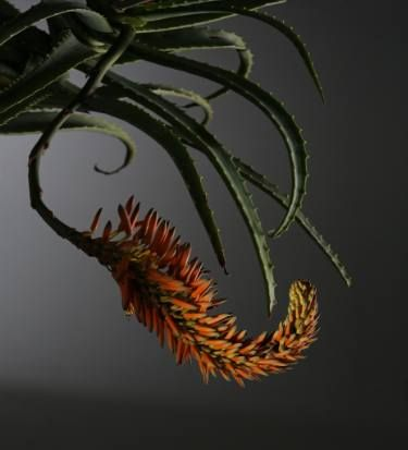 "Saatchi Art Artist Jac de Villiers; Photography, ""Aloe arborescens"" #art"