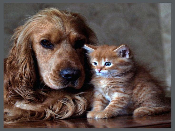 Free cat screensavers free download wallpapers dog and - Free cocker spaniel screensavers ...