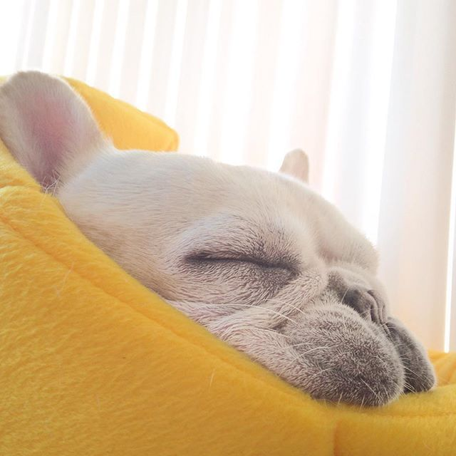flat as a pancake #profilepic by frenchiebutt, French Bulldog Puppy