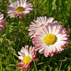 TUSENSKÖNA 'Double Daisy' i gruppen Perenner hos Impecta Fröhandel (6075)