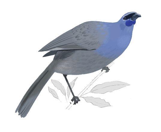 Kakako  from Birders' Paradise by Daron Parton