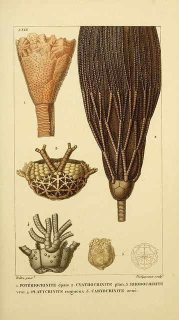 Crinoids by BioDivLibrary on Flickr.    Manuel d'actinologie ou de zoophytologie /.  Paris ;F.G. Levrault,1834-[1836]..  biodiversitylibrary.org/page/9321297