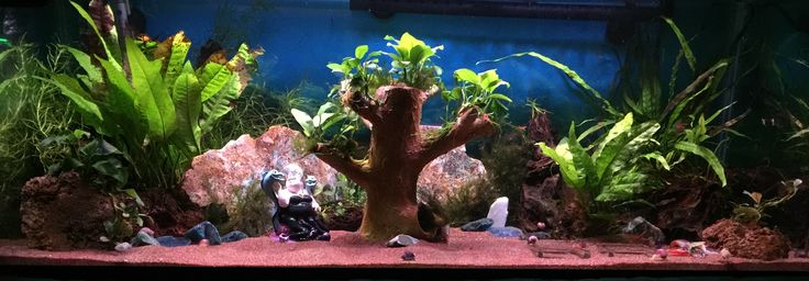 20 gallon long aquarium.  Anubias, Java Fern and Guppy Grass.  Garnet sand and driftwood.  Snail and Shrimp tank.