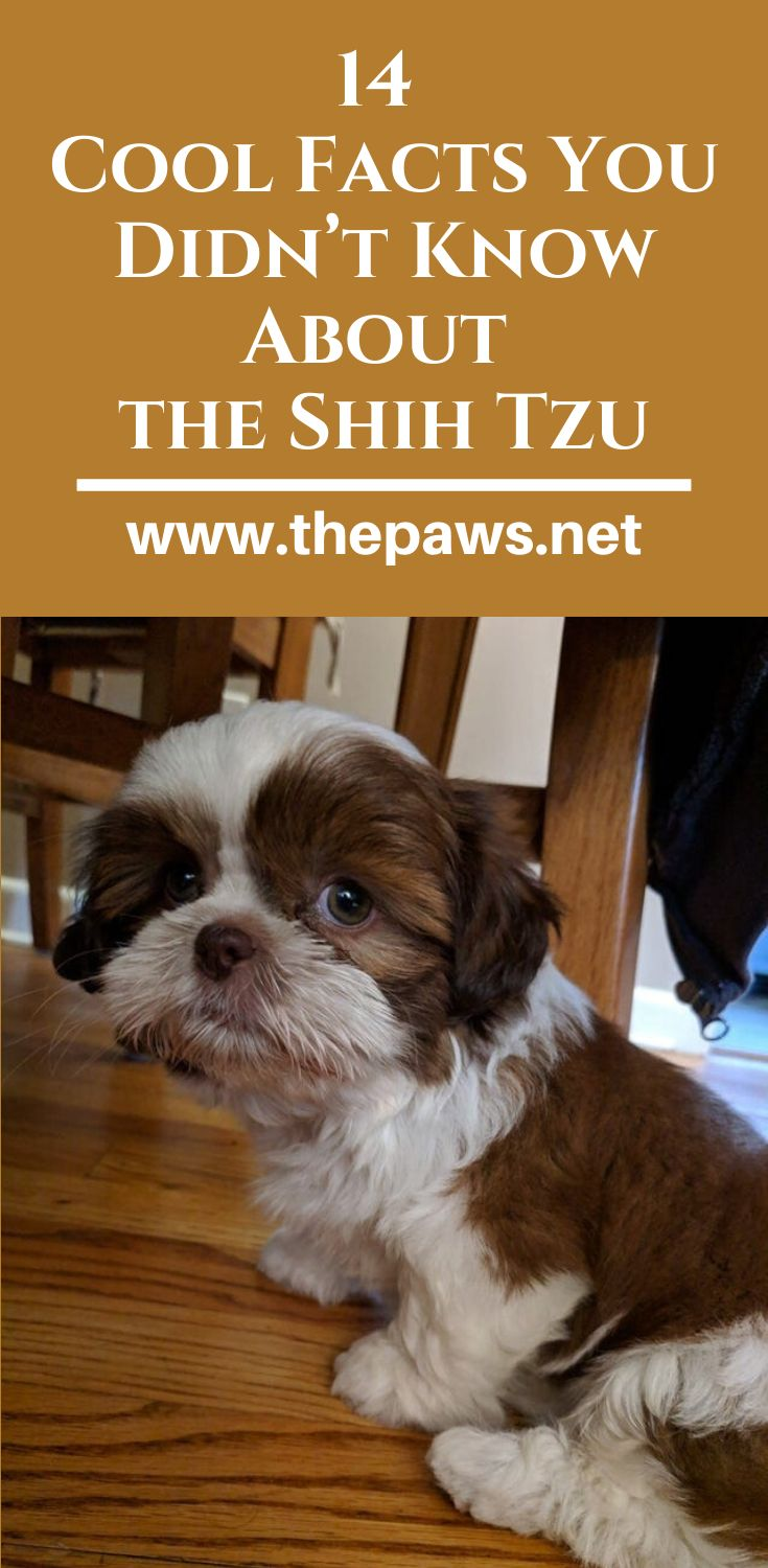 how to know if your dog is pregnant shih tzu