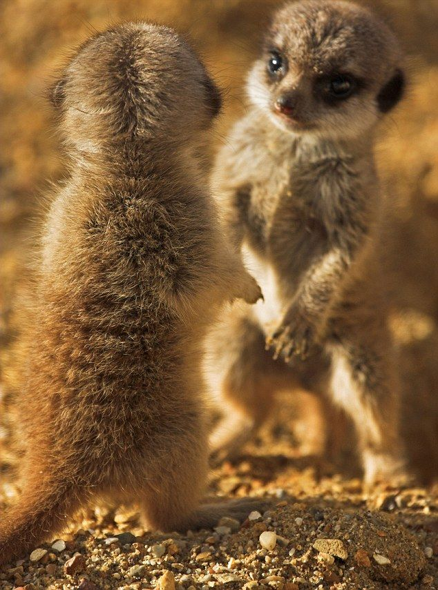 Small Animal Reptiles And Amphibian Habitats: 36 Best Images About MEERKATS On Pinterest