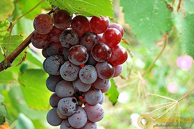 أصناف العنب غير المكشوف الوصف الصورة الخاصية الحديقة Grapes Fruit Vines