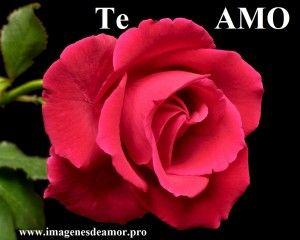 5 Imagenes de hermosas rosas con frases cortas - http://www.imagenesdeamor.pro/2014/08/5-imagenes-de-hermosas-rosas-con-frases-cortas.html