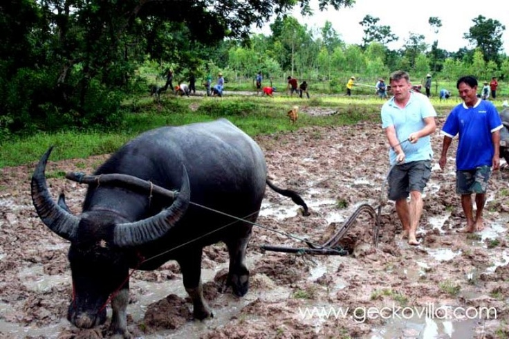 Learning to work the rice paddies with a water buffalo at the Thailand holiday rental Gecko Villa.