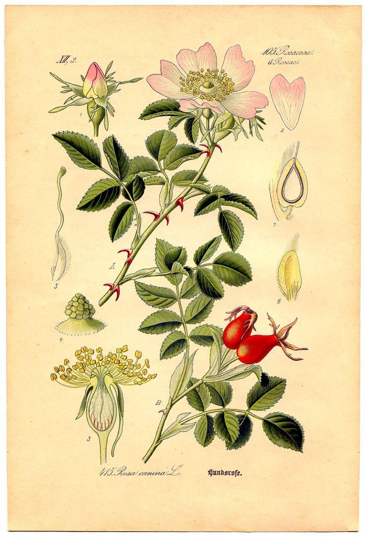 *The Graphics Fairy LLC*: Instant Art Printable - Wild Rose Botanical # 4
