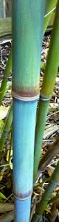 Himalayacalamus hookerianus 'Teague's Blue' - one of the most beautiful non-invasive clumping bamboos in the world. Taken in Rocklin, CA by Sean of Mad Man Bamboo Nursery.