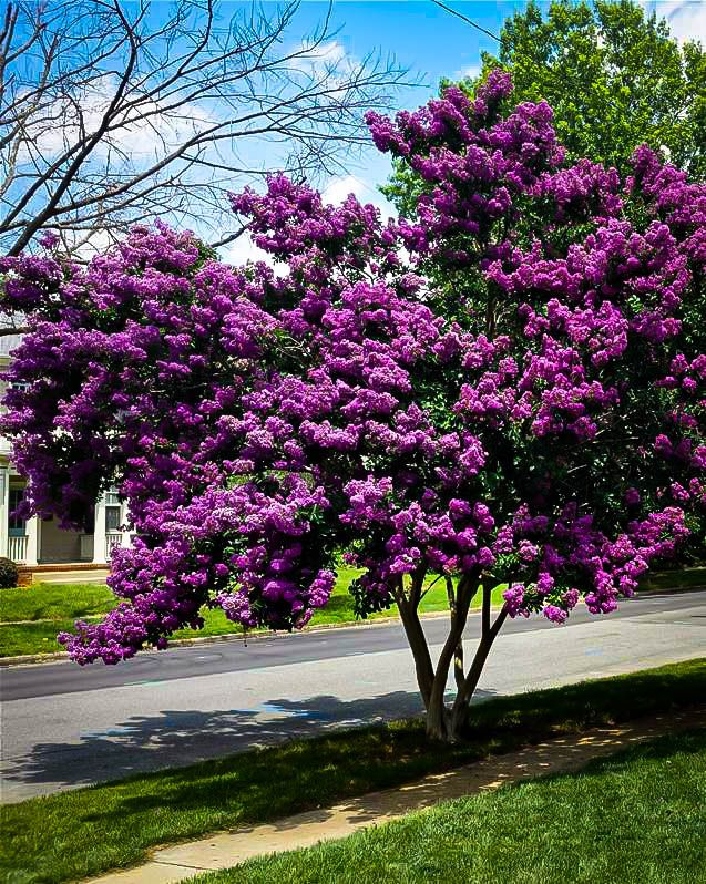 Purely Purple Black Diamond Crape Myrtle Myrtle Tree Crepe Myrtle Trees Crape Myrtle