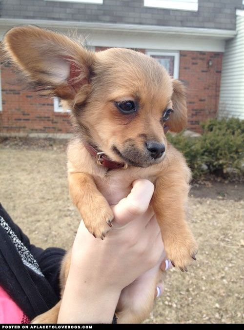 Little Chiweenie (chihuahua/dachshund mix)