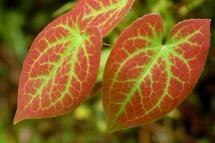 Epimedium x versicolor - David Beaulieu