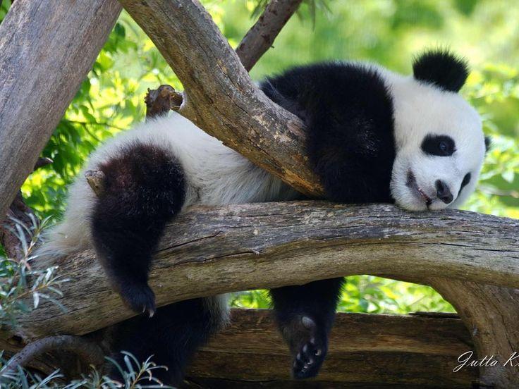 Unsere Panda-Zwillinge sind richtig im Sonntags-Chill-Modus. Ihr auch? :Jutta Kirchner #zoovienna #panda #sunday #sundaymood #sundaymorning
