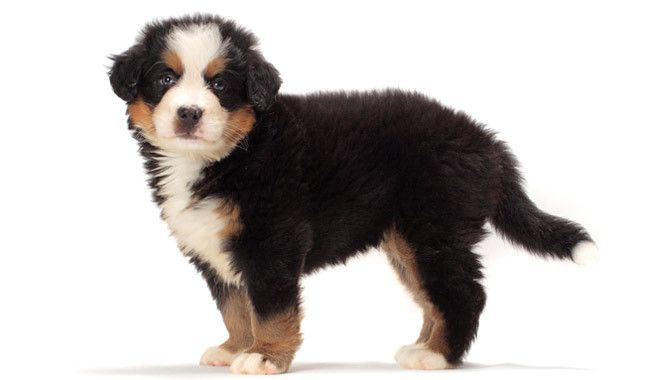 great bernese mountain dog-i've always wanted one