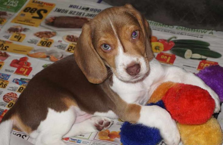 Pin By Lindasteed On Beagles 2 Beagle Puppy Puppies For Sale