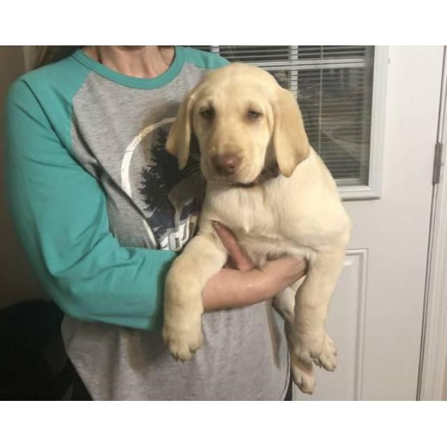 Labrador Retriever Birmingham Akc Labrador Puppies Trying To Find Their Forever Homes They Have Got Had Thei Lab Puppies Labrador Retriever Puppies