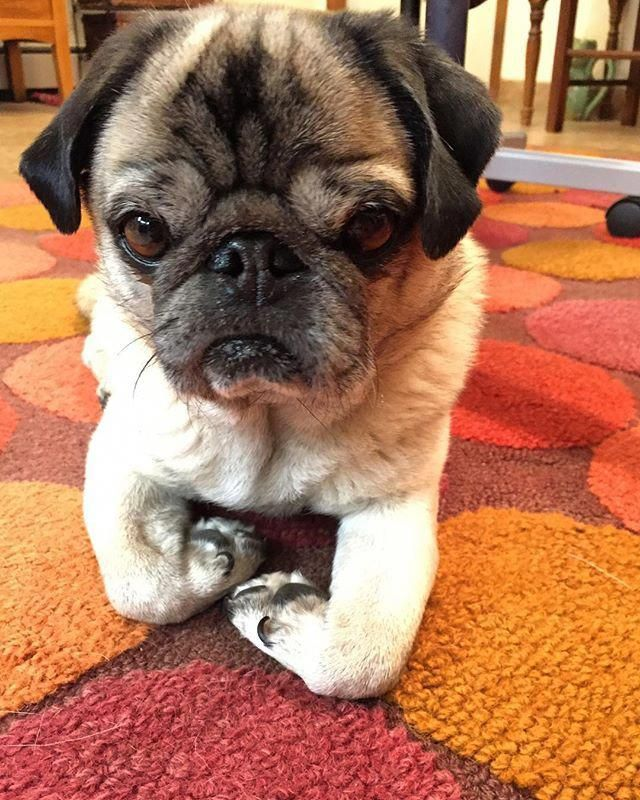 Find Out Even More Information On Funny Pugs Have A Look At Our