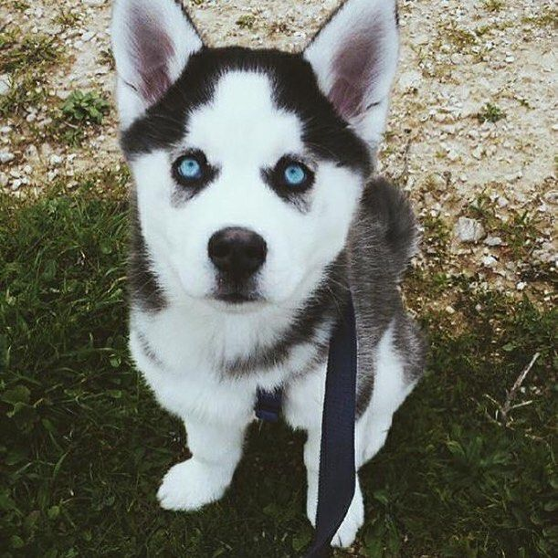 Huskies Dressed With Human Clothes Husky Puppy Puppies Husky