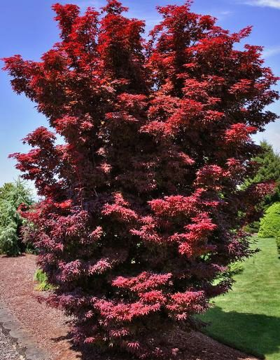 The Perfect Small Red Japanese Maple Acer Palmatum