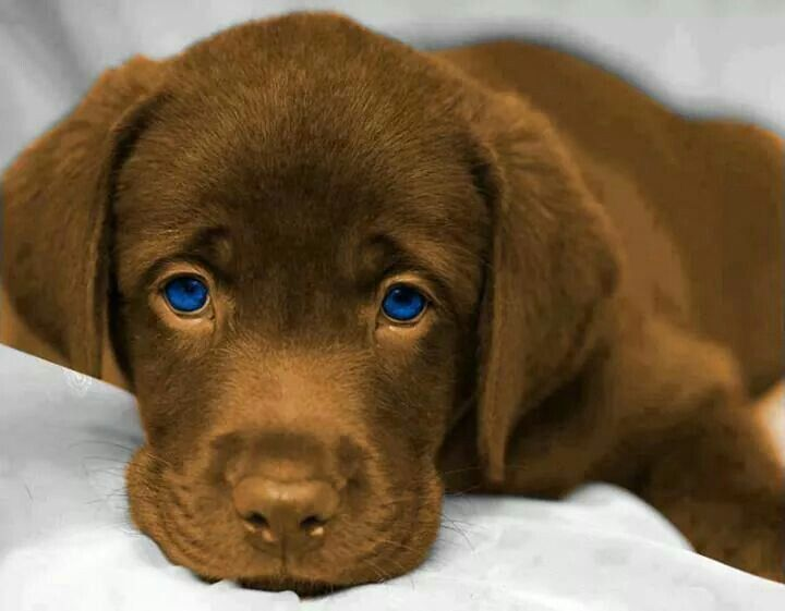 Labrador marron eyes blue