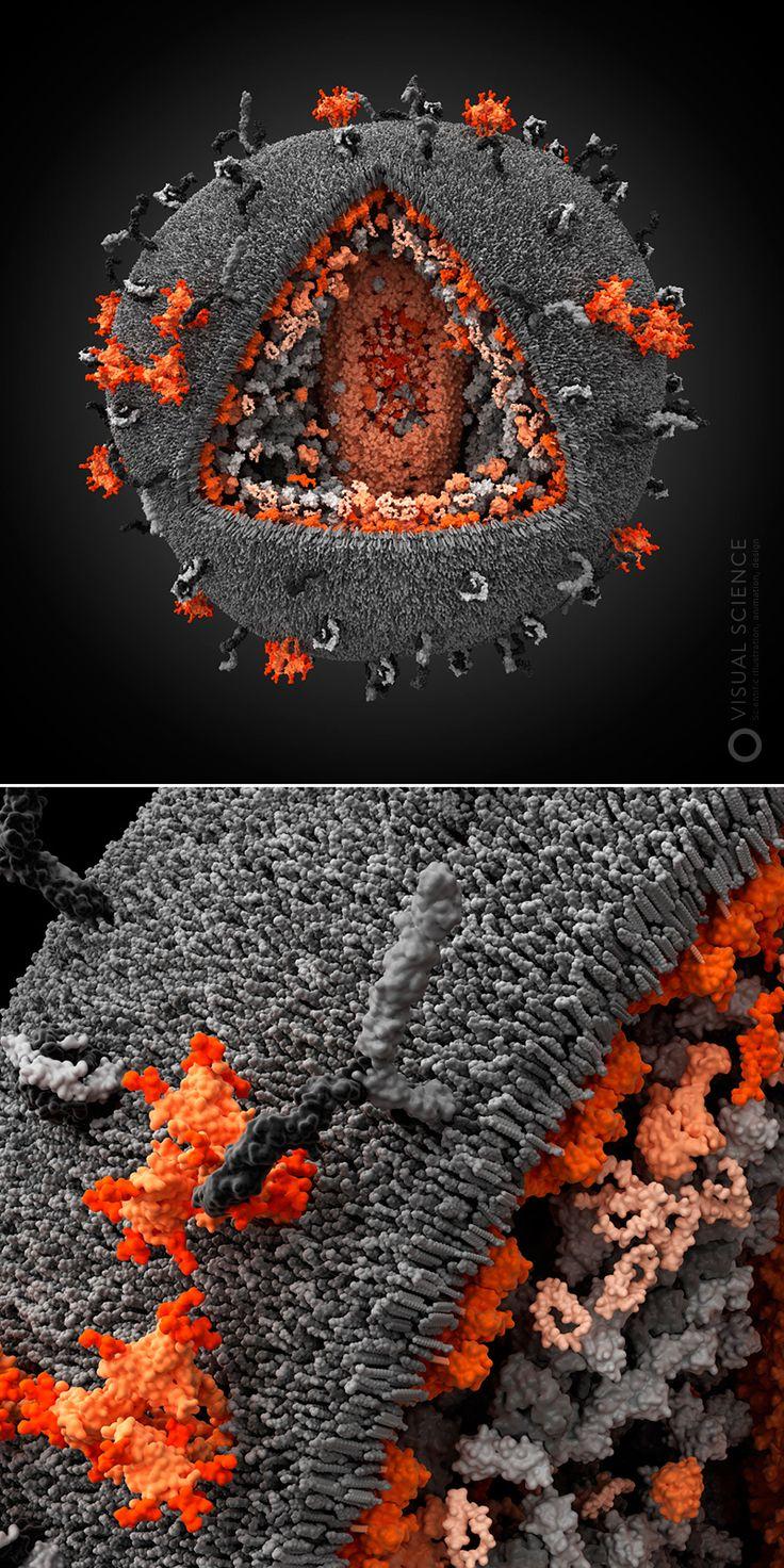Как создать 3D-модель вируса человека. Часть первая: сбор и анализ научных данных / Блог компании Visual Science / Хабрахабр