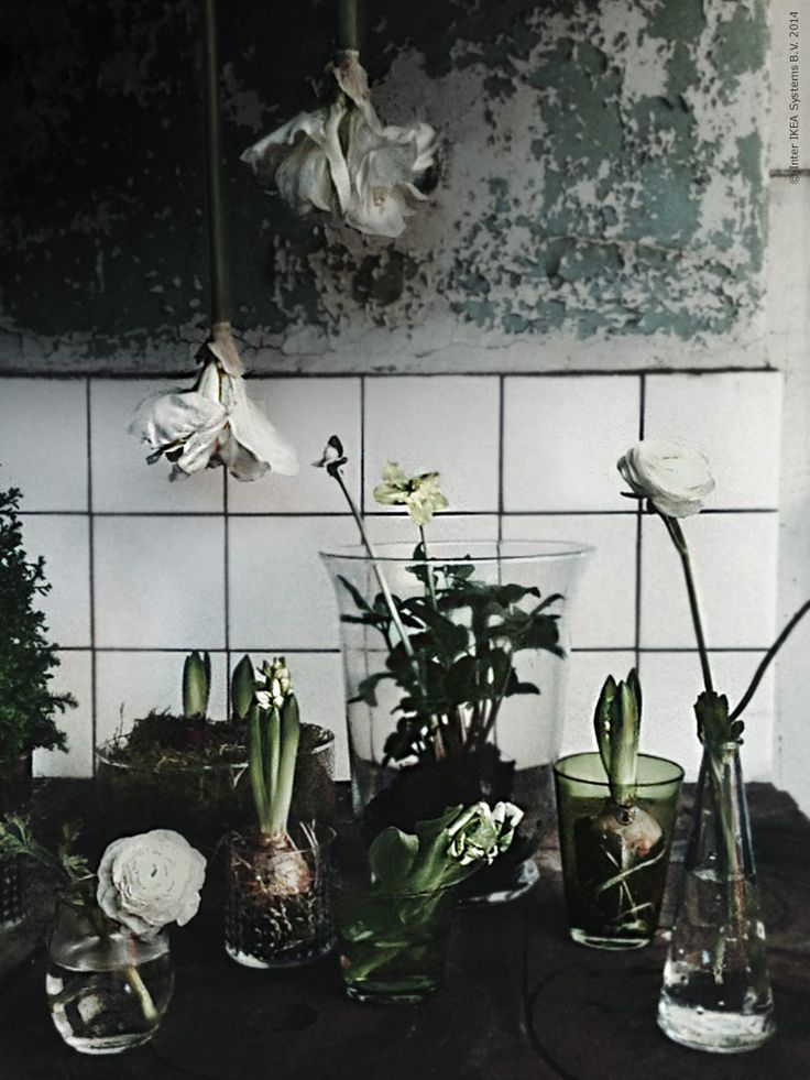 Snittamaryllis trivs hängande, vattna i stjälken och häng upp! Liten cypress i IVRIG glas, hyacinter i FRASERA glas. Grön mossa och hyacinter i en låg CYLINDER vas, julros i POMP lykta. Gröna glas DIOD och ranunkel i vas SNÄRTIG. Gästbloggare Frida Eklund Edman, för Livet Hemma.