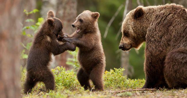 Allatta cuccioli di orso sulla poltrona di casa