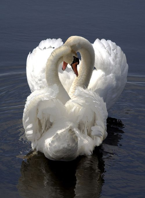 Swans... They mate for life