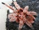 pink spider tarantula Red Chile Rose Tarantula