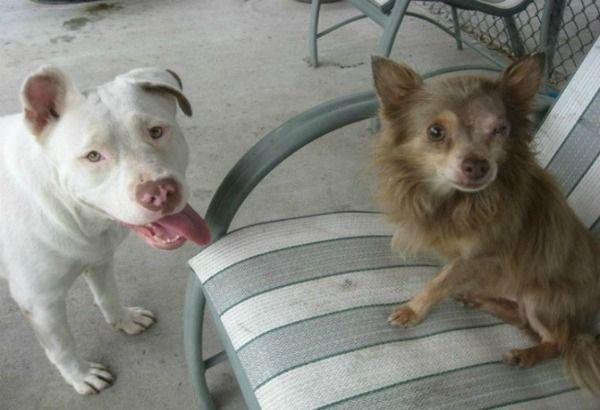 Teneri cuccioli Notizie: Pit Bull salva il suo migliore amico Chihuahua/LEG...