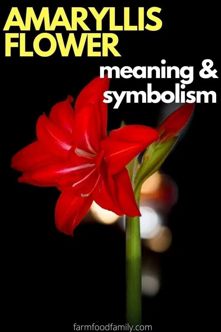 Amaryllis Flower Facts Meaning Symbolism A Symbol Of Love In 2020 Flower Meanings Amaryllis Flowers Amaryllis