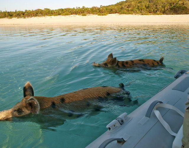 Cerdos Nadando en el Mar. Residentes de la isla Big Mayor Cay, estos curiosos personajes son los únicos habitantes de una isla que está enclavada en el distrito Exuma, Bahamas