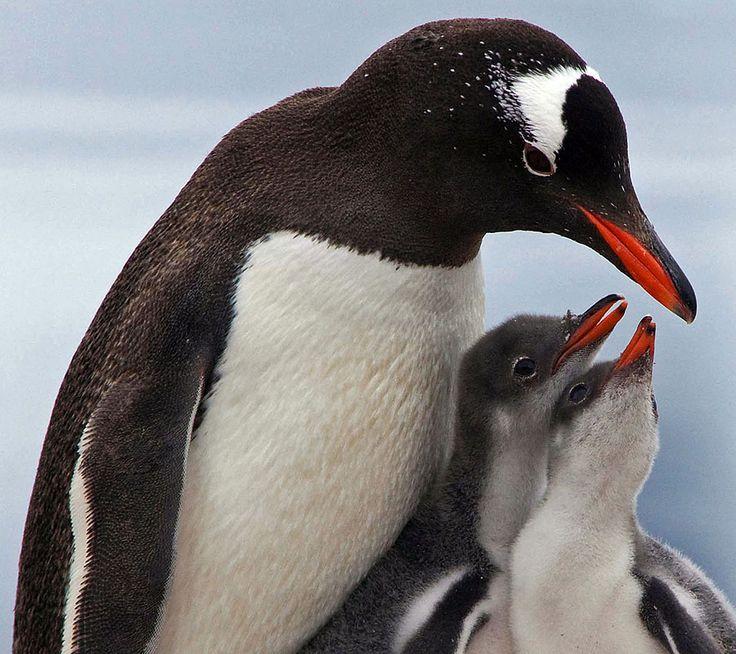 penguin  | life of sea penguin penguins are a group of aquatic flightless birds ...