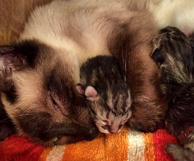 Siamese Rescue Cat Gives Birth To A Litter Of 4 Striped Tabby Kittens