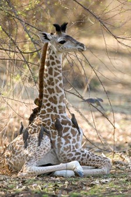 A newborn giraffe relaxes under a tree in Zambia, in southern Africa, as oxpecker birds clean its skin of ticks and other bugs.