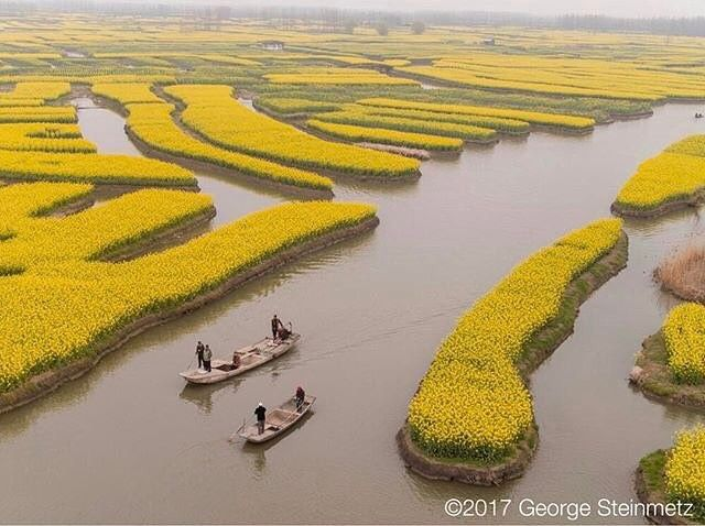 Photograph by George Steinmetz @geosteinmetz // A sea of yellow rapeseed flowers is the big money maker for the villages near Xinghua, China. The wetland was excavated into network of fields and canals long ago, but now the locals make more money from #agrotourism every April than they do from the oil rich seeds that are pressed for cooking oil, or the taro that grows in the summer. The farmer who put me up slept in his car this last weekend to have one more room to rent! On #onassignment…