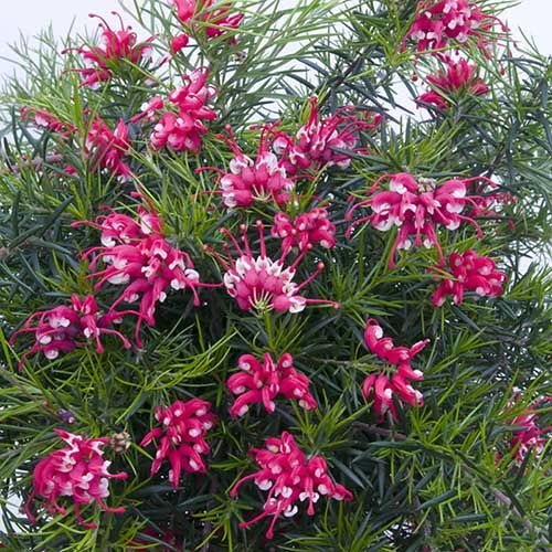 Grevillea mont tambourina. Needs light and water. Don't allow the soil to dry out. Flowers 2-3 times per year. Prune back for the winter before new buds.