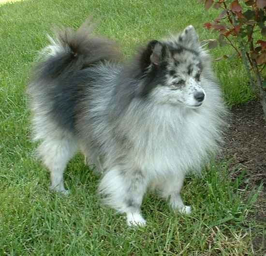 This is a Pomimo, an American Eskimo and Pomeranian mix ...