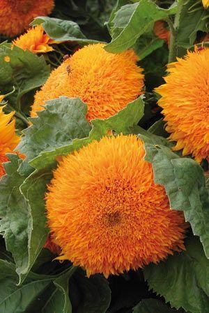 Sunflower Teddybear.