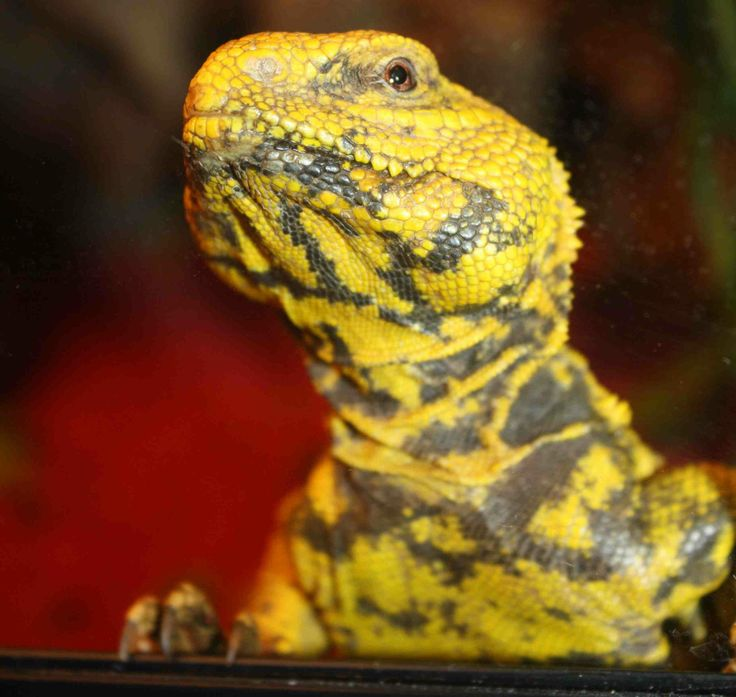 Uromastyx for sale at Voracious Reptiles | Lizards For ...