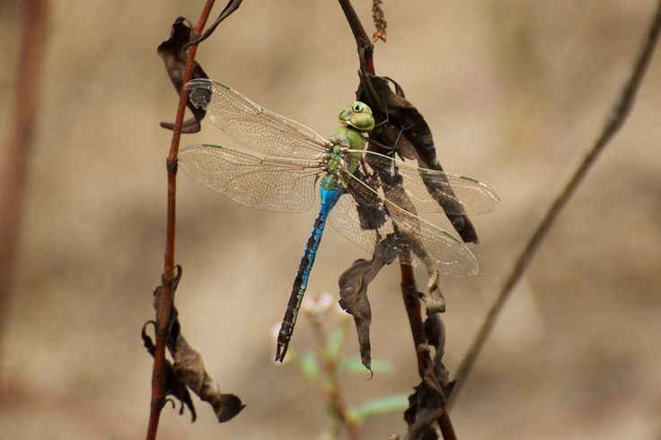 Common Green Darner (Anax junius), male by Roger Shaw
