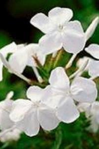 Cape Plumbago 'White'