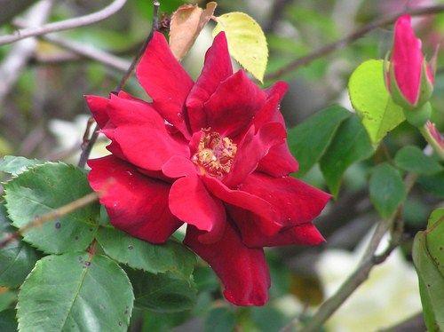 Hybrid Tea Climbing Rose: Rosa 'Billy Boiler' (Australia, 1927)