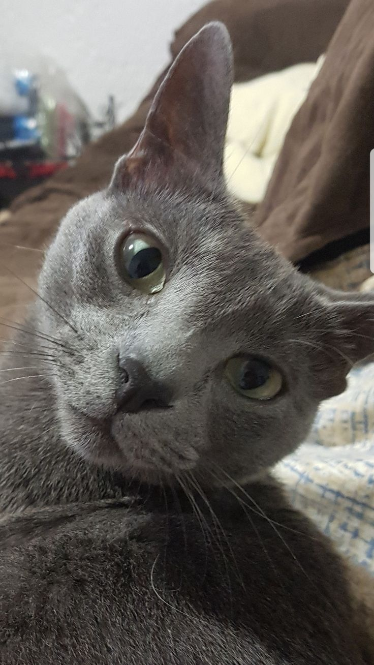 312 best Russian Blue cats images on Pinterest