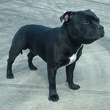 Staffordshire Bull Terrier is naturally muscular and may appear intimidating; however, because of their natural fondness for people, most Staffords are temperamentally ill-suited for guard or attack-dog training.