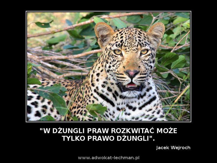 """""""W dżungli praw rozkwitać może tylko #prawo #dżungli"""". Jacek Wejroch"""
