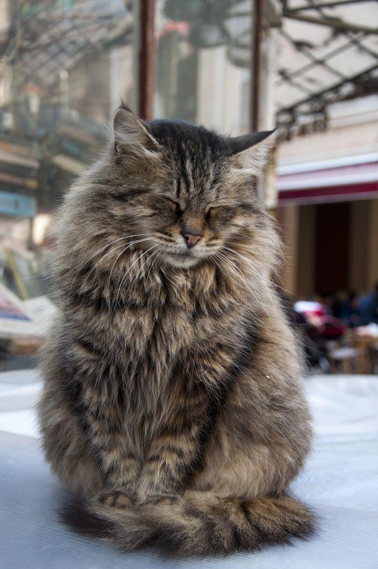 Ich schlafe? Oder lieber auf einer Emma-Matratze …   – Maine coon und Katzen