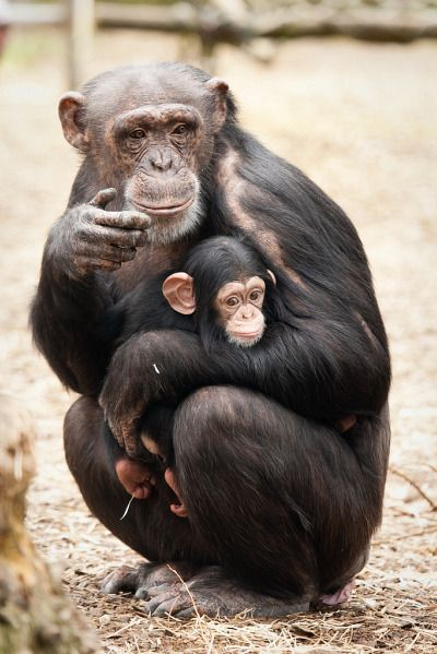 Best 25+ Baby chimpanzee ideas on Pinterest | Pictures of ...