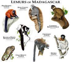 Lemurs of Madagascar by rogerdhall